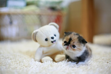 Фото Маленький котенок сидит около плюшевого мишки на белом ковролине (© Кофе мой друг), добавлено: 16.07.2012 20:20