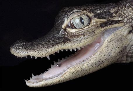 Фото Крокодил с пирсингом в пасти