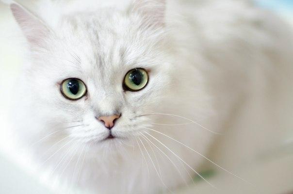 Фото Кошка породы ангора с