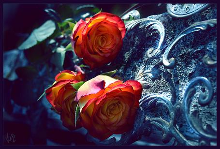Фото Три желто-красных розы лежат на кованой металлической решетке, by Valentina Kallias (© Лин Суинь), добавлено: 04.08.2012 23:18