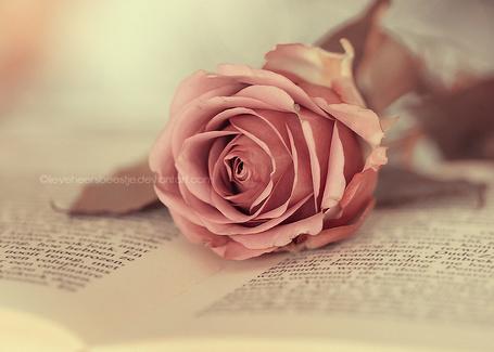 Фото Роза лежит на раскрытых страницах книги, by lieveheersbeestje (© Лин Суинь), добавлено: 06.08.2012 11:02