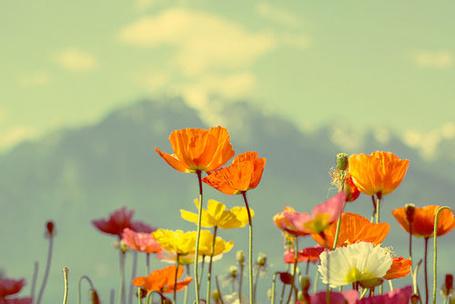 Фото Разноцветные маки на фоне горного пейзажа