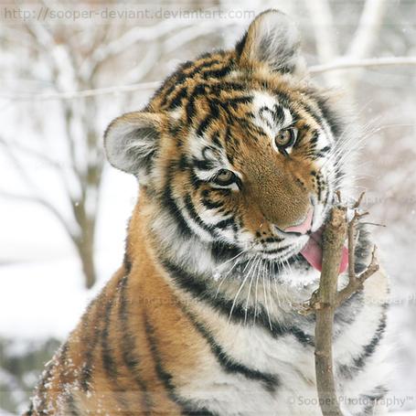 Фото Молодой тигр облизывает ветку дерева, Sooper Photography