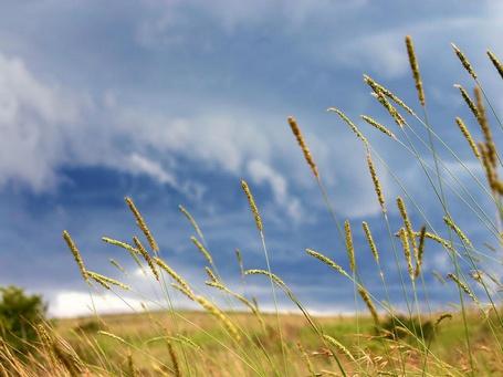 Фото Спелые колосья на поле (© Anatol), добавлено: 11.08.2012 00:38