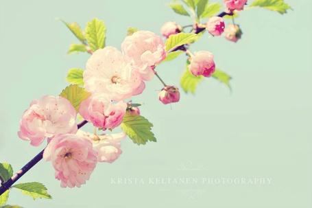 Фото Ветка цветущей сакуры. Фотограф Криста Келтанен (Krista Keltanen)