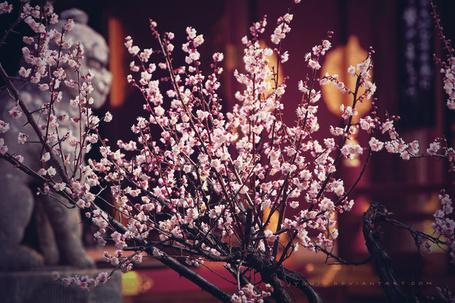 Фото Цветущие ветки вишни, фотограф под ником jyoujo (© Radieschen), добавлено: 15.08.2012 12:19