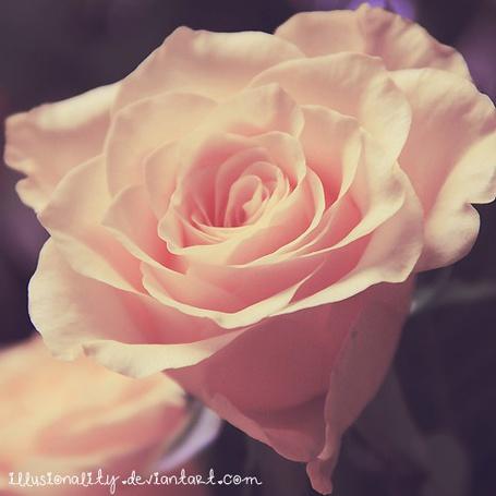 Фото Нежная розовая роза (© Юки-тян), добавлено: 17.08.2012 16:52