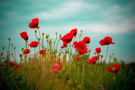 Фото Маковое поле (© Юки-тян), добавлено: 19.08.2012 15:49