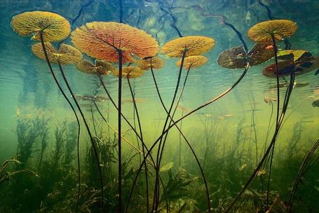 Фото Подводные растения (© Anatol), добавлено: 23.08.2012 14:54