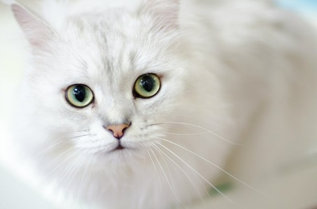 Фото Кошка породы ангора с зелёными глазами (© Sveta_Sherer), добавлено: 25.08.2012 01:53