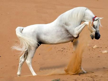 Фото Белый конь бьет копытом по песку (© Sveta_Sherer), добавлено: 27.08.2012 23:51