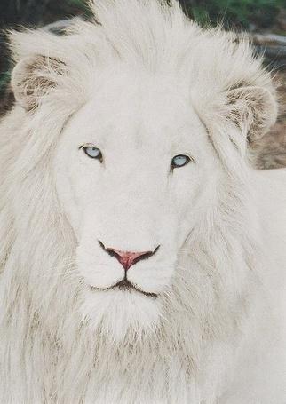 Фото Голубоглазый лев-альбинос (© Кофе мой друг), добавлено: 31.08.2012 10:34