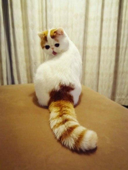 Фото Милый кот породы экзот вылизывает шерсть