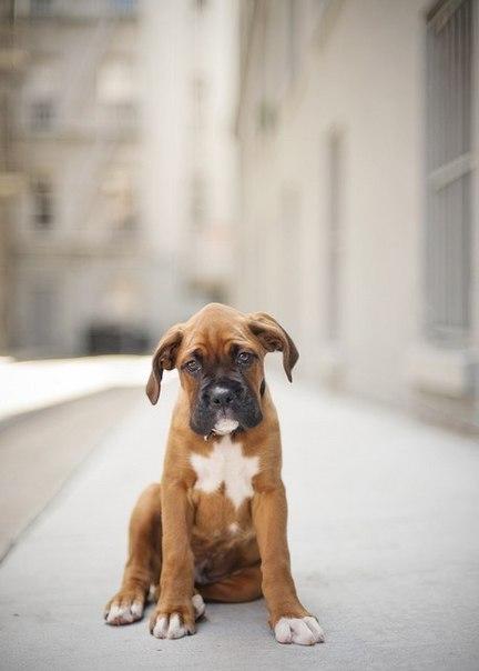 Фото Грустный щенок английского мастифа