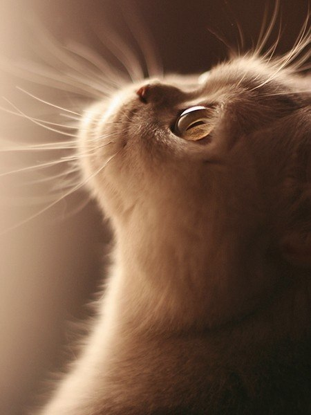 Фото Кот породы экзот смотрит куда то в верх