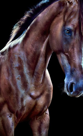 Фото Красивый гнедой конь, фотограф Andrew McGibbon (© Sveta_Sherer), добавлено: 01.09.2012 10:29