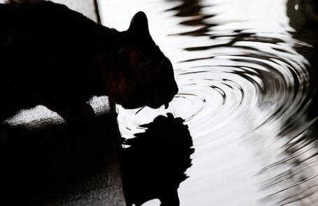 Фото Кот пьет воду (© Sveta_Sherer), добавлено: 01.09.2012 12:43