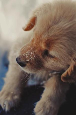 Фото Щенок породы золотистый ретривер со снегом на носу (© Sveta_Sherer), добавлено: 11.09.2012 13:42