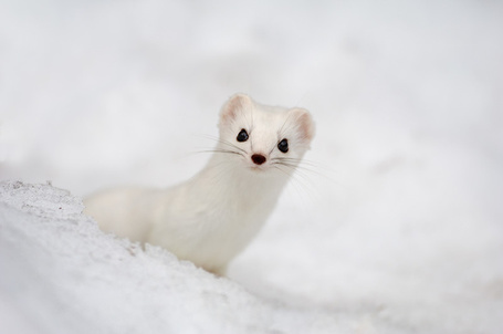 Фото Белый хорек в снегу, фотограф Erlend Haarberg / Эрлен Харберг