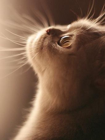 Фото Кот породы экзот смотрит куда то в верх (© Sveta_Sherer), добавлено: 20.09.2012 04:43