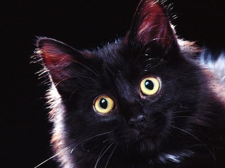 Фото Пушистый, черный кот с большими глазами
