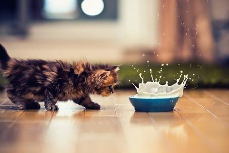 Фото Пушистый котёнок хочет попить молочка, расплескивающегося из миски (© ЗлОбНийЙ тОрТиК), добавлено: 30.09.2012 03:18