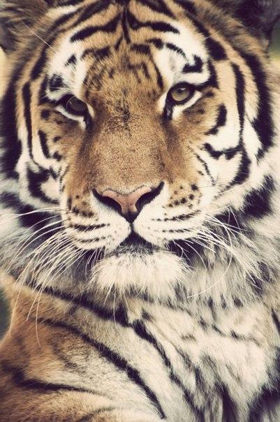 Фото Красивый молодой тигр