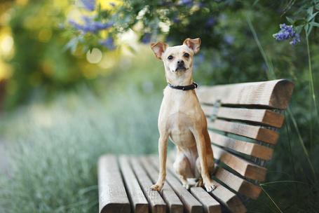 Фото Маленькая собачка сидит на лавочке в парке (© Princessa), добавлено: 05.10.2012 02:58