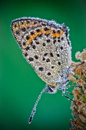 Фото Бабочка в каплях воды,  фотограф Давид Шамбон / David Chambon (© Morena), добавлено: 13.10.2012 10:01