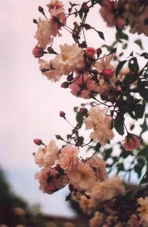 Фото Цветы дикой розы на фоне неба (© ), добавлено: 27.10.2012 11:54