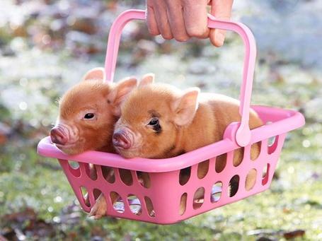 Фото Два поросенка в розовой корзине