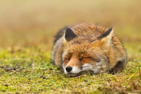 Фото Лиса, положив мордочку на травку, спит (© ), добавлено: 30.10.2012 14:46