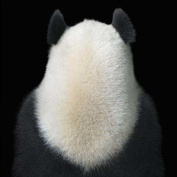 golie-panda-foto