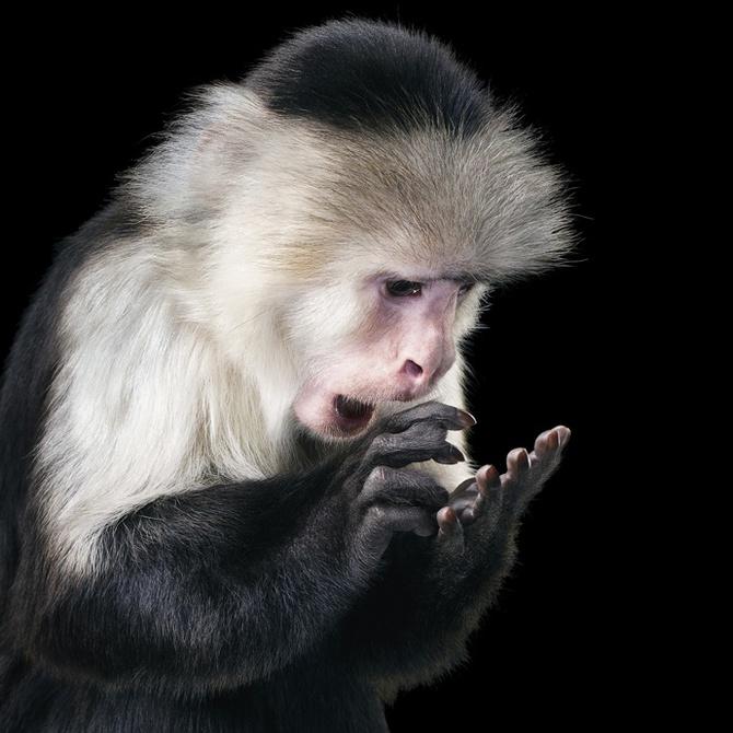 Фото Обезьяна обнаружила на своей ладони что-то удивительное, работа известного фотографа Tim Flach