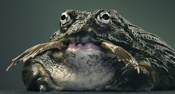 Большая злая лягушка