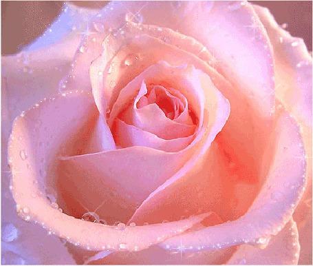 Розовые розы анимация картинки