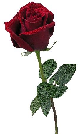 Фото Красная роза (© Morena), добавлено: 08.11.2012 09:27