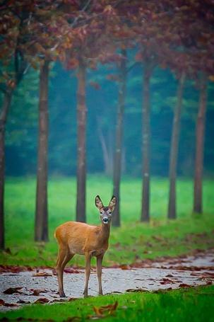 Фото Олень стоит под деревьями (© ), добавлено: 08.11.2012 23:36