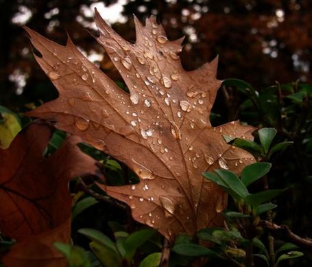 Фото Осенний кленовый лист в росе (© ), добавлено: 09.11.2012 10:44