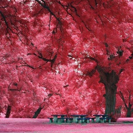 Фото Японский клен, Остин, США / Japanese maple, Austin, USA (© ), добавлено: 11.11.2012 14:03