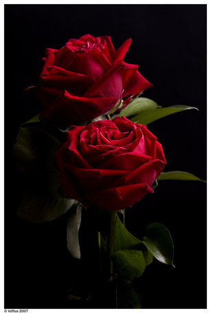 Фото Две розы на черном фоне (© ), добавлено: 15.11.2012 19:47