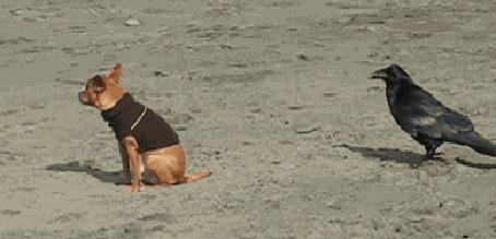Фото Ворона клюёт собачку в хвостик