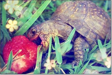 Фото Черепаха, сидя в траве, ест клубнику