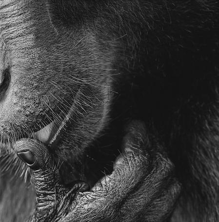 Фото Черная обезьяна приложила палец к губам, работа известного фотографа Tim Flach