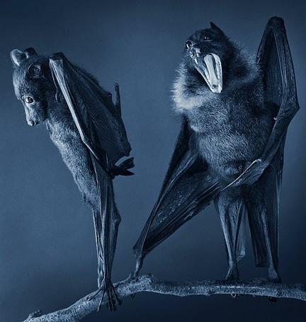 Фото Две смешные летучие мыши на ветке дерева, работа известного фотографа Tim Flach (© Radieschen), добавлено: 20.11.2012 15:02