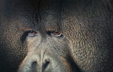 Фото Грустный взляд обезьяньих карих глаз, работа известного фотографа Tim Flach