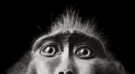 Фото Испуганные глазки обезьяны, работа известного фотографа Tim Flach