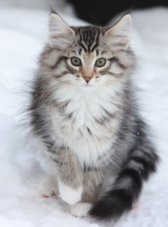 Фото Красивая кошка сидит на снегу