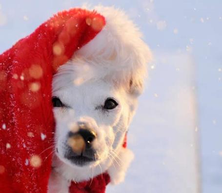 Фото Собака в красной новогодней шапке