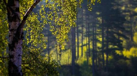 Фото Береза на фоне леса (© Black Tide), добавлено: 28.11.2012 00:14
